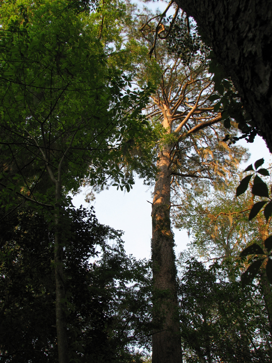 The light is fading, but a few sun rays can be seen dappling a tall skinny trunked tree.